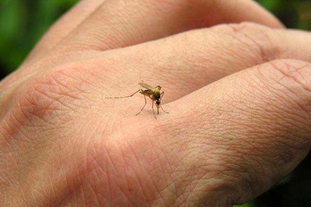El virus es transmitido por la picadura del mosquito Aedes aegypti.